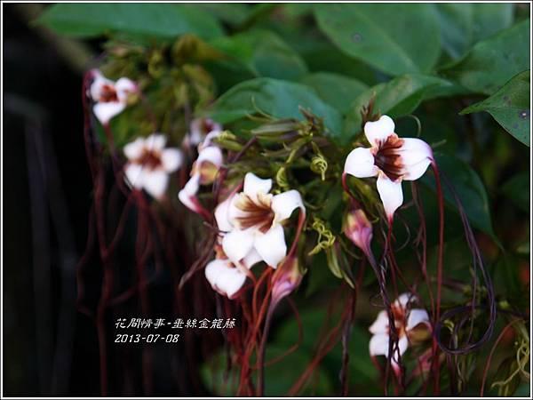 2013-07-垂絲金龍藤2.jpg