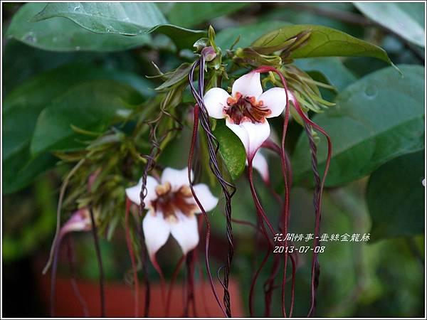 2013-07-垂絲金龍藤5.jpg