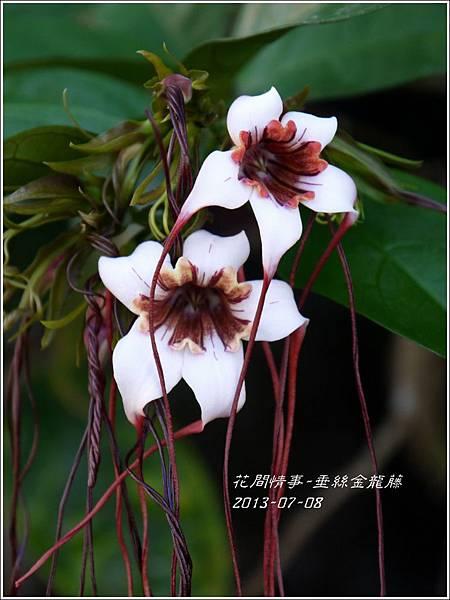 2013-07-垂絲金龍藤8.jpg