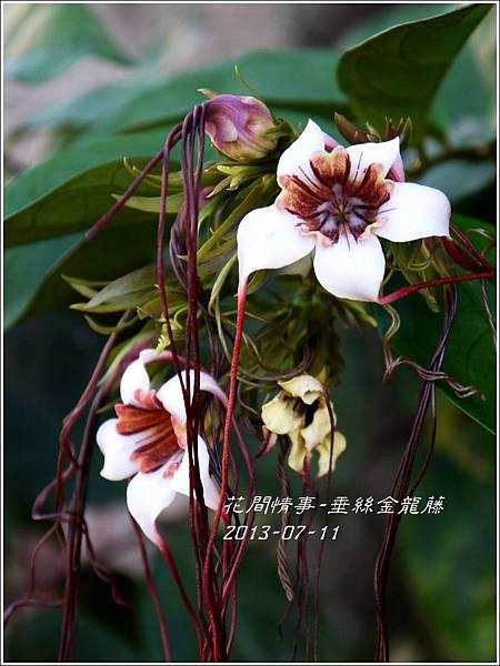 2013-07-垂絲金龍藤9.jpg