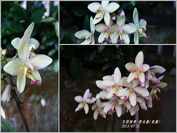 2013-08-苞舌蘭(紫蘭)11.jpg