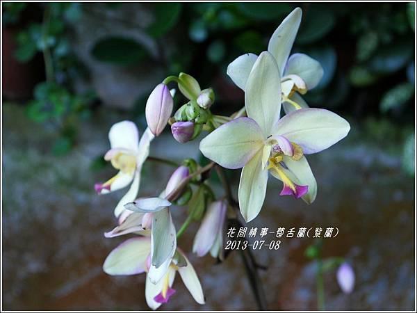 2013-08-苞舌蘭(紫蘭)2.jpg