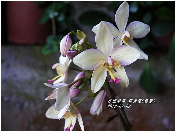 2013-08-苞舌蘭(紫蘭)4.jpg