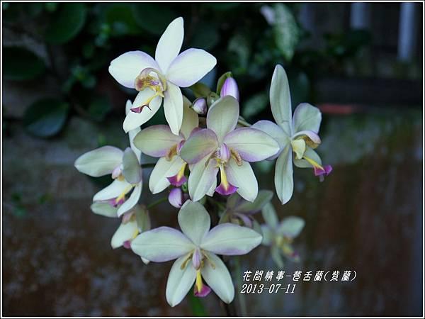 2013-08-苞舌蘭(紫蘭)5.jpg