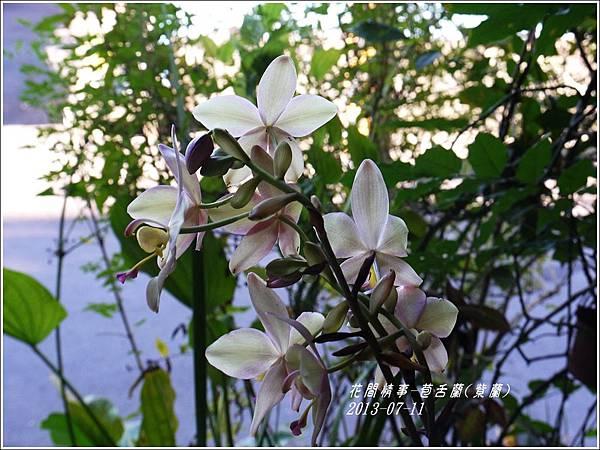 2013-08-苞舌蘭(紫蘭)7.jpg