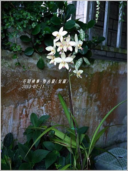 2013-08-苞舌蘭(紫蘭)8.jpg