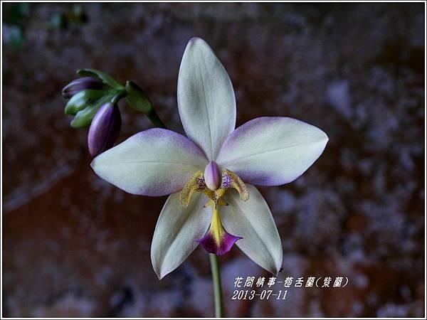 2013-08-苞舌蘭(紫蘭)9.jpg