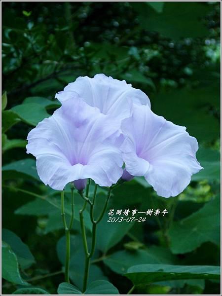 2013-08-樹牽牛13.jpg