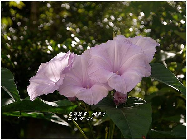 2013-08-樹牽牛2.jpg