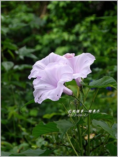 2013-08-樹牽牛9.jpg