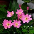 2013-08-韭蘭13.jpg