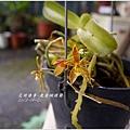 2013-09-鹿角蝴蝶蘭9.jpg