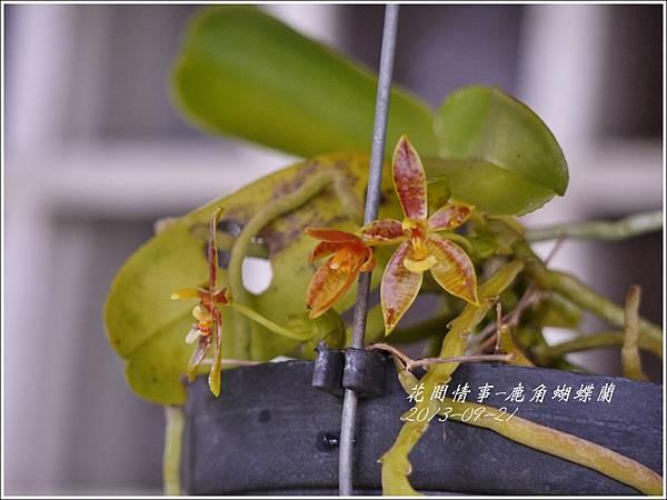 2013-09-鹿角蝴蝶蘭1.jpg