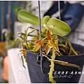 2013-09-鹿角蝴蝶蘭2.jpg