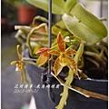 2013-09-鹿角蝴蝶蘭3.jpg