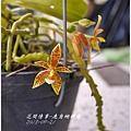 2013-09-鹿角蝴蝶蘭5.jpg