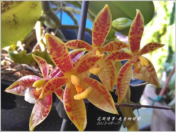 2013-09-鹿角蝴蝶蘭7.jpg