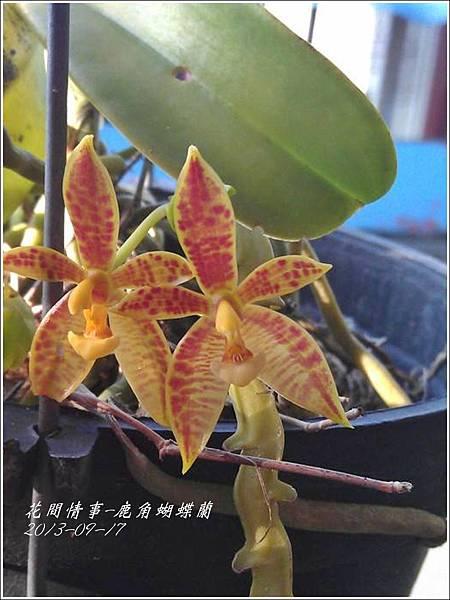 2013-09-鹿角蝴蝶蘭8.jpg