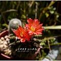 2013-09-仙人掌花3.jpg