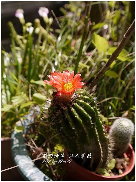 2013-09-仙人掌花4.jpg