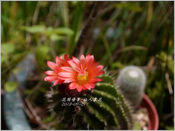 2013-09-仙人掌花7.jpg