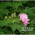 2013-10-醉芙蓉2.jpg