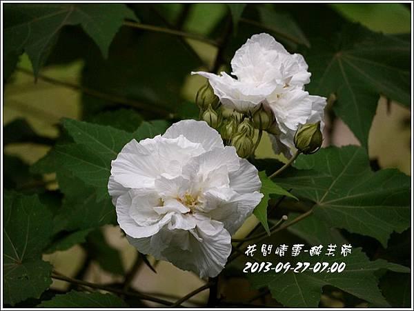 2013-10-醉芙蓉3.jpg