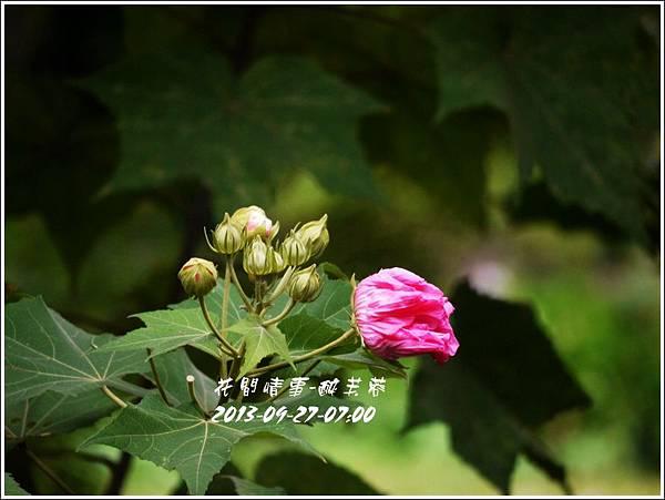 2013-10-醉芙蓉5.jpg