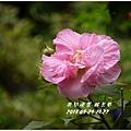 2013-10-醉芙蓉6.jpg