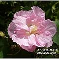 2013-10-醉芙蓉12.jpg