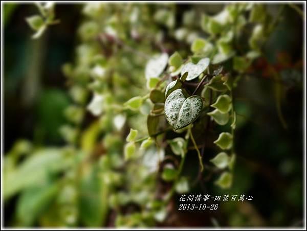 2013-10-斑葉百萬心18.jpg