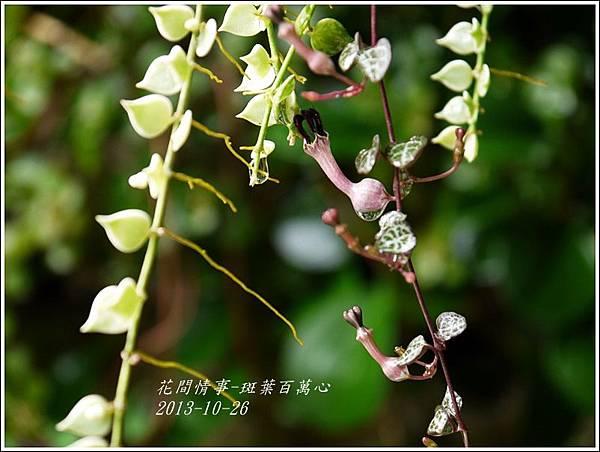 2013-10-斑葉百萬心3.jpg
