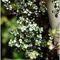 2013-11-灰綠冷水花11.jpg