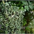 2013-11-灰綠冷水花3.jpg