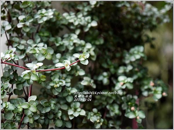 2013-11-灰綠冷水花6.jpg