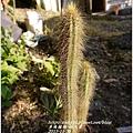 2013-11-仙人掌10.jpg
