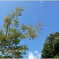 2012-12-鳳凰木.jpg