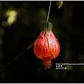 2013-12-宮燈花.jpg
