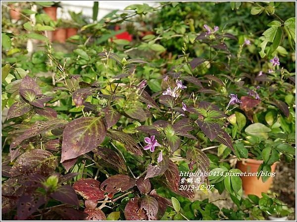 2013-12-紫鶴花11.jpg