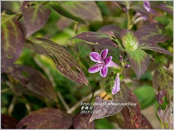 2013-12-紫鶴花2.jpg