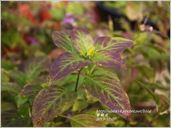 2013-12-紫鶴花5.jpg