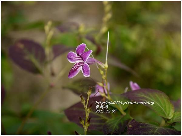 2013-12-紫鶴花7.jpg