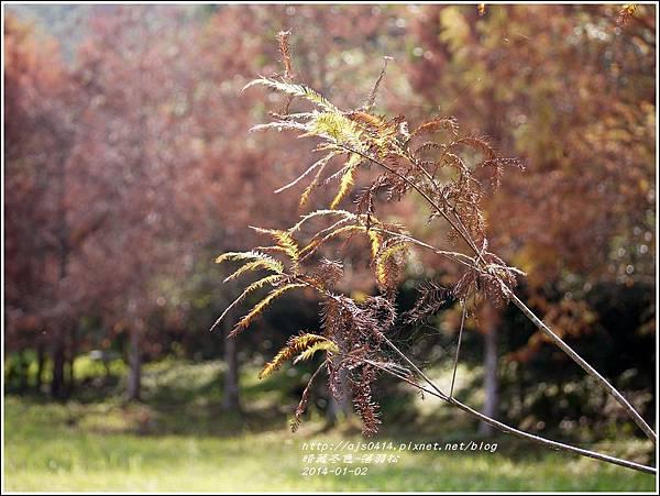 2014-01-小公園落羽松之美16.jpg
