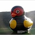 2014-01-鯉魚潭(紅面番鴨)4.jpg