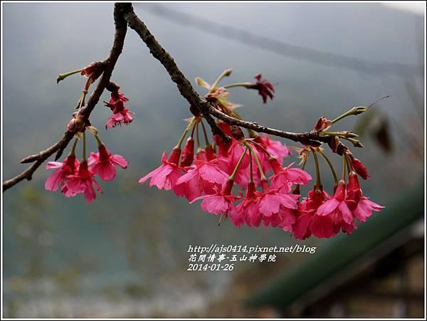 2014-01-玉山神學院春櫻9.jpg