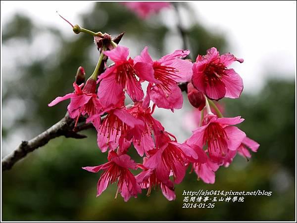2014-01-玉山神學院春櫻10.jpg