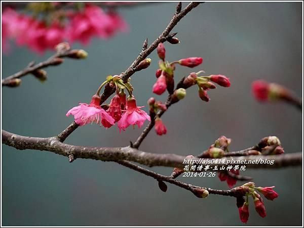 2014-01-玉山神學院春櫻17.jpg