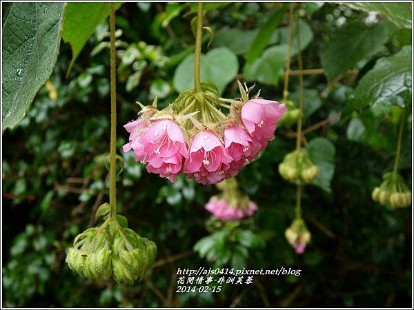 2014-02-非洲芙蓉花5.jpg