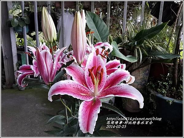 2014-02-邱比特香水百合6.jpg