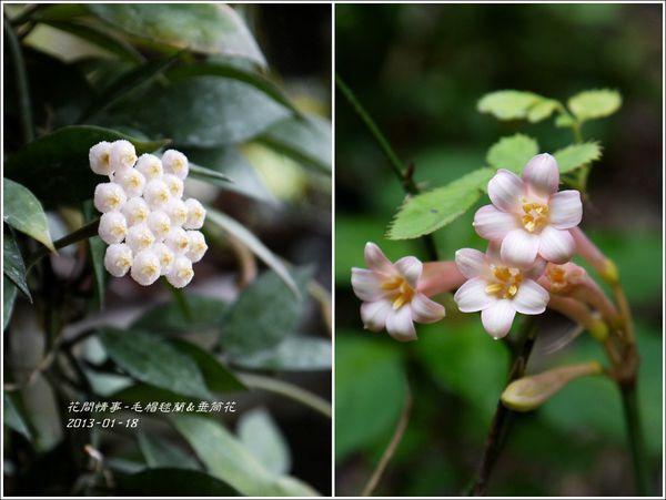 毛帽毬蘭&垂筒花.jpg